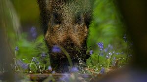 Wild boar (Sus scrofa) feeding on Bluebell (Hyacinthoides non-scripta) bulbs, Forest of Dean, Gloucestershire, England, UK, May.  -  Luke Massey
