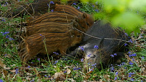 Wild boar (Sus scrofa) piglets suckling from mother, Forest of Dean, Gloucestershire, England, UK, May. - Luke Massey