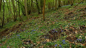 Panning shot showing soil disturbed by Wild boar (Sus scrofa) feeding and digging for bulbs, with flowering Bluebells (Hyacinthoides non-scripta), Forest of Dean, Gloucestershire, England, UK, May.  -  Luke Massey
