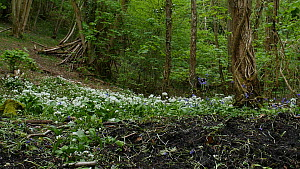 Panning shot showing soil disturbed by Wild boar (Sus scrofa) feeding and digging for bulbs, with flowering Bluebells (Hyacinthoides non-scripta) and Wild garlic (Allium ursinum) in woodland in spring...  -  Luke Massey