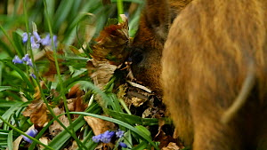 Wild boar (Sus scrofa) piglet feeding on Bluebell (Hyacinthoides non-scripta) bulbs, Forest of Dean, Gloucestershire, England, UK, May.  -  Luke Massey