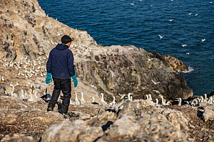 Seabird researcher approaching Northern gannet (Morus bassanus) colony, Grassholm Island, Wales, UK. October - Sam Hobson