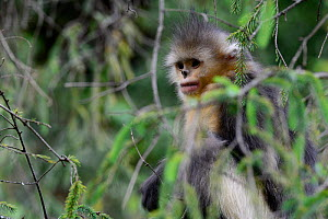 Yunnan snub-nosed monkey (Rhinopithecus bieti) in tree, Yunnan, China. - Enrique Lopez-Tapia