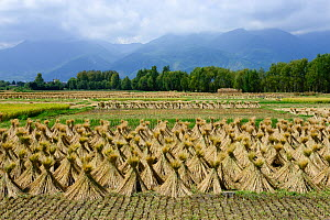 Harvested rice fields around the town of Dali, Yunnan, China. September 2016. - Enrique Lopez-Tapia