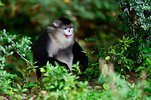 Yunnan black snub-nosed monkey (Rhinopithecus bieti) male, Yunnan, China. - Enrique Lopez-Tapia