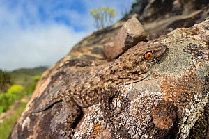 La Gomera gecko (Tarentola gomerensis) camouflaged on a lichen-encrusted rock. Endemic species, La Gomera, Canary Islands. March.  -  Alex  Hyde
