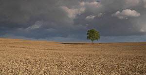 Walnut tree (Juglans regia) in the middle of a wheat field, Viller Le Sec, Picardy, France. August  -  Pascal  Tordeux