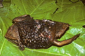 Surinam toad (Pipa pipa) young emerging from under skin of mother. French Guiana. Controlled conditions.  -  Daniel  Heuclin