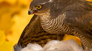 Close-up of a female Sparrowhawk (Accipiter nisus) feeding on Wood pigeon (Columba palumbus), Bedfordshire, England, UK. October. - Dave Bevan