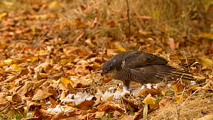 Female Sparrowhawk (Accipiter nisus) plucking and feeding on a Wood pigeon (Columba palumbus), Bedfordshire, England, UK. October. - Dave Bevan