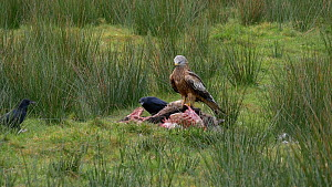 Red kites (Milvus milvus) feeding on a dead sheep, with Carrion crows (Corvus corvus) nearby, Carmarthenshire, Wales, UK. November. - Dave Bevan