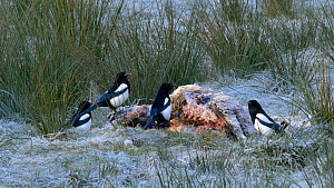 Magpie (Pica pica) feeding on a dead sheep, Carmarthenshire, Wales, UK. November.  -  Dave Bevan