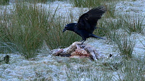 Raven (Corvus corax) and Magpies (Pica pica) feeding on a dead sheep, Carmarthenshire, Wales, UK. November.  -  Dave Bevan