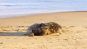 Pair of Grey seals (Halichoerus grypus) mating on a beach, Norfolk, England, UK. December.  -  Dave Bevan