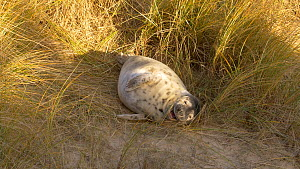 Grey seal (Halichoerus grypus) pup sheltering amongst sand dunes and Maram grass (Ammophila) whilst its mother is away feeding, Norfolk, England, UK. December. - Dave Bevan