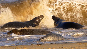 Two male Grey seals (Halichoerus grypus) fighting in surf, with a female and juvenile nearby, Norfolk, England, UK. December.  -  Dave Bevan