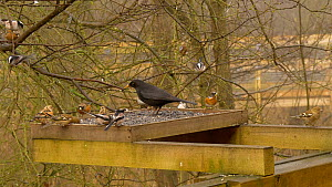 Long tailed tits (Aegithalos caudatus) feeding from a bird table alongside Blackbirds (Turdus merula), Common chaffinches (Fringilla coelebs), Bramblings (Fringilla montifringilla) and Greenfinches (C... - Dave Bevan