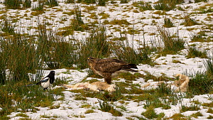 Common buzzard (Buteo buteo) and Magpie (Pica pica) feeding on a dead lamb, Carmarthenshire, Wales, UK. December. - Dave Bevan