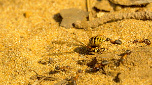 Close-up of a group of Wood ants (Formica rufa) carrying a dead Common wasp (Vespula vulgaris) back to their nest, Bedfordshire, England, UK, August.  -  Brian Bevan