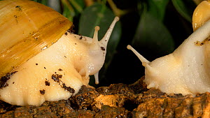Two Giant african snails (Achatina fulica) emerging from their shells and looking around, UK. Captive.  -  Brian Bevan