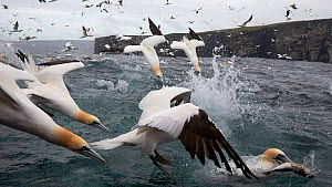 Gannets (Sula bassana) diving into water, hunting for fish, Shetland, UK, July. - Markus Varesvuo