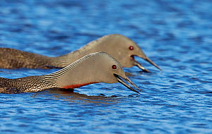 Close up of Red-throated Diver (Gavia stellata) pair about to dive in water to search for food, Shetland, UK, July. - Markus Varesvuo