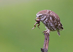 Little Owl (Athene noctua) with frog prey in its beak, Hungary, May. - Markus Varesvuo
