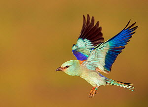 European Roller (Coracias garrulus) flying, note ringed legs, Hungary, May.  -  Markus Varesvuo
