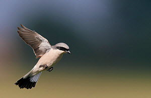 Red-backed Shrike (Lanius collurio) flying, Hungary, May.  -  Markus Varesvuo
