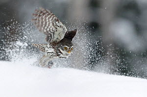 Pygmy Owl (Glaucidium passerinum) taking off in snow, Kuusamo, Finland, February.  -  Markus Varesvuo