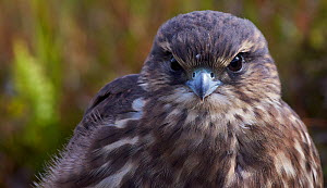 Merlin (Falco columbarius) portrait, Sheltand, UK, July. - Markus Varesvuo