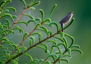 Grasshopper Warbler (Locustella naevia) singing, Finland, May. Small repro only.  -  Markus Varesvuo