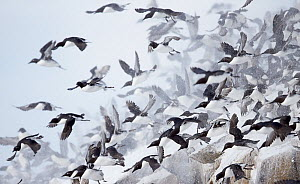 Guillemots (Uria aalge) taking off in snow, Norway, March. - Markus Varesvuo