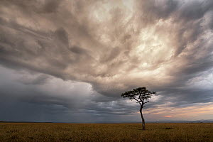 Whistling thorn tree (Acacia drepanolobium) in open Savanna Grassland under storm clouds, Masai Mara National Reserve, Kenya  -  Ingo Arndt