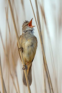 Great reed warbler (Acrocephalus arundinaceus) singing in reedbed, Lake Neusiedl, Austria, May. - Ingo Arndt