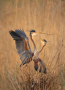 Purple Heron (Ardea purpurea) pair building reed nest, Germany  -  Ingo Arndt