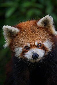 Red panda, (Ailurus fulgens), captive occurs China - Ingo Arndt