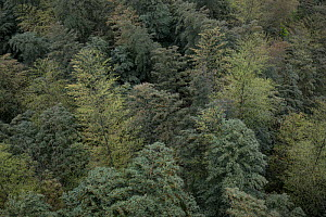 Bamboo (Phyllostachys heterocycla) forest from above, Shunan Bamboo Sea, Shunan Zhuhai National Park, Sichuan, China - Ingo Arndt