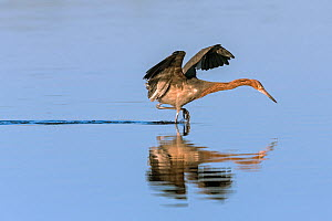 Reddish egret (Egretta rufescens) hunting, Everglades National Park, Florida, USA. January. - Ingo Arndt