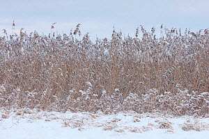 Reed bed in snow and frost, Germany, January.  -  Ingo Arndt