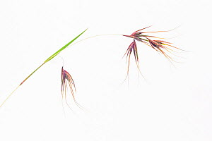 Red Oat Grass (Themeda triandra), Masai Mara National Reserve, Kenya  -  Ingo Arndt