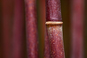 Bamboo (Fargesia nitida), Sichuan, China. May. - Ingo Arndt