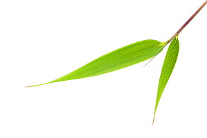 Bamboo (Fargesia robusta) leaf, Sichuan, China. May. - Ingo Arndt