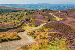 Offa's Dyke path viewed from the summit of Moel Famau in the Clwydian Mountain Range with the Vale of Clwyd in the distance, North Wales, UK, August.  -  Alan  Williams