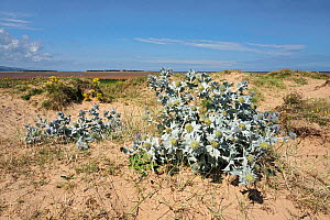 Sea Holly (Eryngium maritimum) on shore of Dee Estuary with Hilbre Island in the background Hoylake Wirral UK August 1638 - Alan  Williams