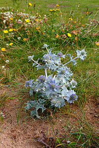 Young Sea Holly (Eryngium maritimum) plant in bloom on low sand dunes, Dee Estuary, Hoylake, Wirral, UK, July. - Alan  Williams