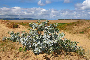 Sea Holly (Eryngium maritimum) on low sand dunes, Dee Estuary with North Wales and Hilbre Island in the distance, Hoylake, Wirral, UK, July. - Alan  Williams