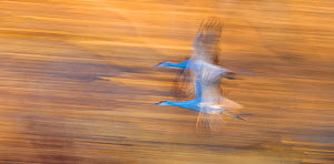 Sandhill cranes (Antigone canadensis) two in flight, blurred motion. Bosque del Apache, National Wildlife Refuge, New Mexico, USA, January. - Jack Dykinga