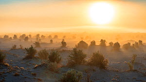 Devil's Coornfield, sand flat with clumps of arrow-weed with unusual morning fog. Death Valley National Park, California,  January 2017.  -  Jack Dykinga