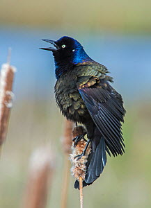 Common grackle (Quiscalus quiscula) male in breeding plumage calling, Acadia National Park, Maine, USA May - George  Sanker